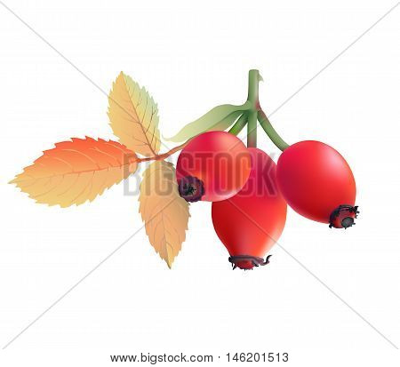 Rose hips.  Hand drawn vector illustration of wild rose hips with colorful autumn leaves on transparent background.