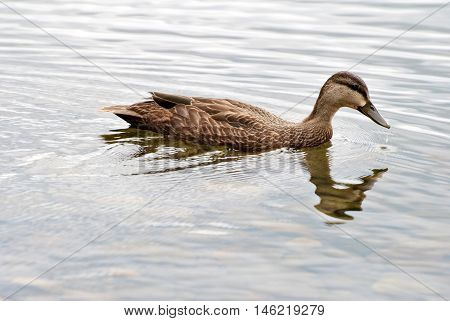 Young Mallard Duck with a Reflection Swimming