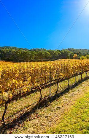 Grape vines in autumn Barossa Valley Adelaide Hills area South Australia