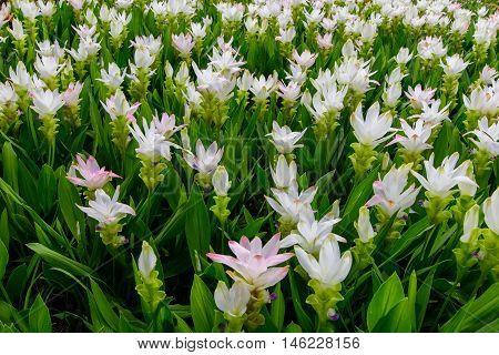 Field of White Siam tulip flower or Curcuma alismatifolia