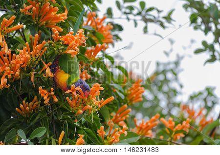 Colourful Lorikeet eating orange trumpet creeper flowers