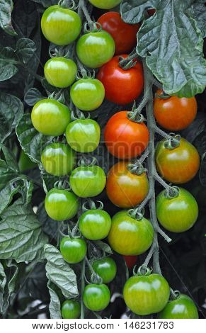 Red and green vine tomatoes ready for picking