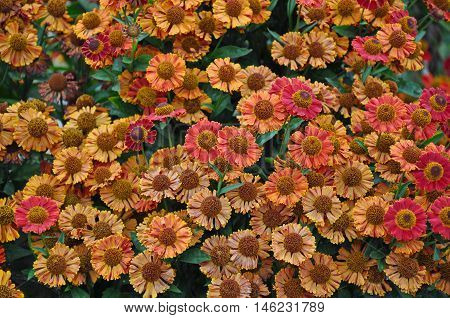 Beautiful orange and red helenium flower garden in late summer