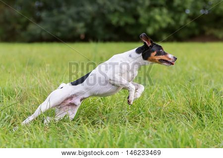 Jumping Dog On The Meadow