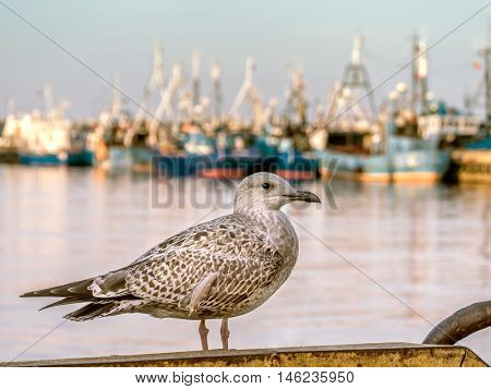 Great Black-backed Gull against the fishing port