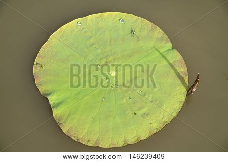 Green Lotus Leaf In The Lake, Thailand.