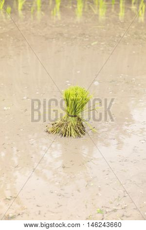 Young rice sprout ready to growing in the rice field - a paddy sprout for transplanting in rainy season Thailand.