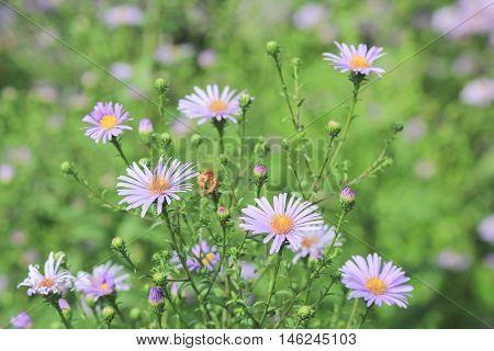 Blooming Alpine asters (Aster Alpinus), Blooming Alpine asters (Aster Alpinus) Beautiful purple flowers