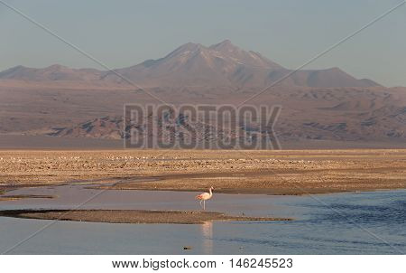 Sunset in Atacama Salar with Flamingo, Chile / Salt lake with flamingos and mountains on the background at Atacama Salar, Chile