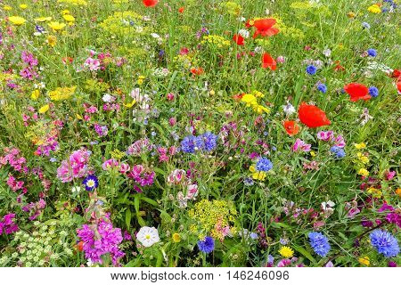 Close-up of colorful English wildflower meadow with poppies.