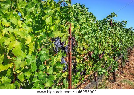 Row of ripe red grapes in Napa Valley, San Francisco Bay Area in northern California. Napa Valley is the main wine growing region of the United States and one of the major wine regions of the world.