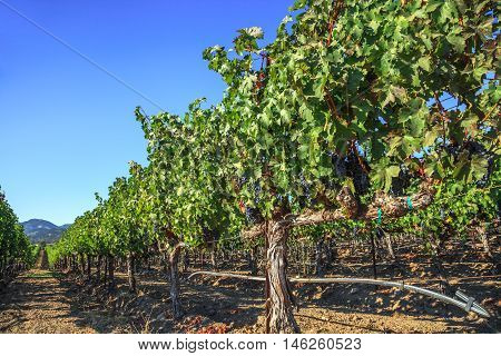 Rows of Vineyards in Napa Valley, San Francisco Bay Area in northern California. Napa Valley is the main wine growing region of the United States and one of the major wine regions of the world.