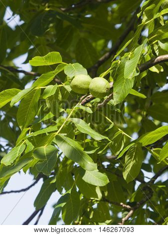 Green unripe walnuts on tree with leaves close-up selective focus shallow DOF