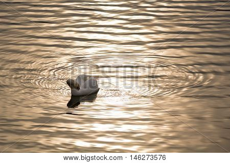 A graceful swan pecking itself surrounded by ripples on the lake