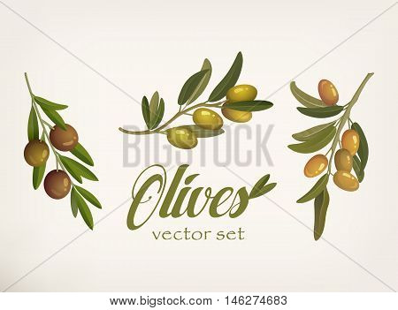 Set of green and yellow olive branches with leaves and berries with blacks. Raw vegetarian food and cosmetic or lubrication mediterranean ingredient. Can be used for vegetable and nature, organic theme poster