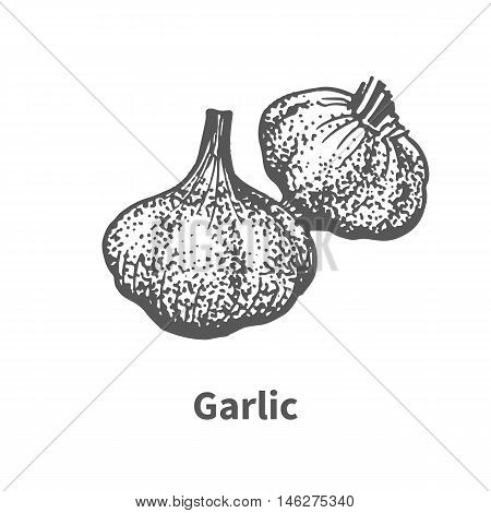 Vector illustration doodle black and white hand-drawn garlic. Isolated on white background. The concept of harvesting. Vintage style.