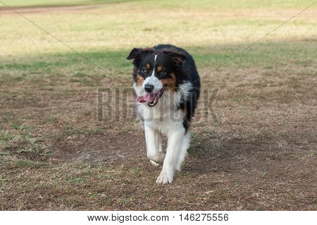 Australian Shepard dog walking with happy expression.