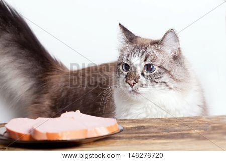 young hungry cat looking at the plate with sausage