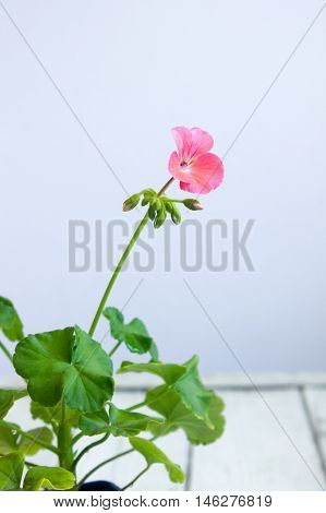 Pink Pelargonium Flower, Geranium, Known As Storksbills, Home Plant