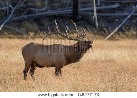 a bull elk bugling during the fall rut