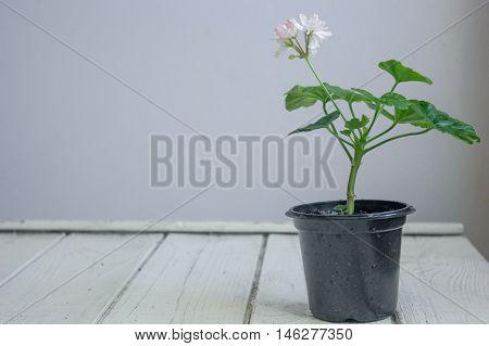 White Pelargonium Flower, Geranium, Known As Storksbills, Home Plant