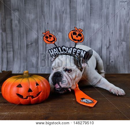 Portrait of french bulldog with diadem and tie halloween.