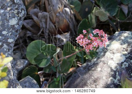 Pink flower in the Caatinga in Brazil