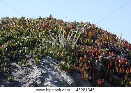 This is an image of ice plant and others at Asilomar Beach in Pacific Grove, California.