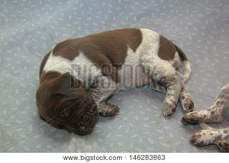 German shorthaired pointer puppies 18 days old