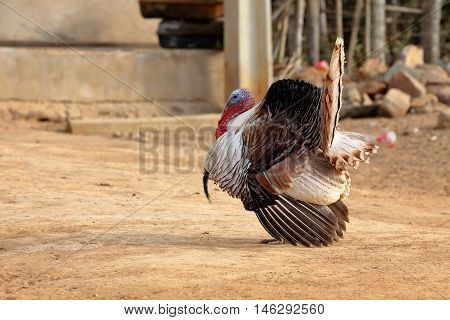 A Turkey with his plumage during courtship
