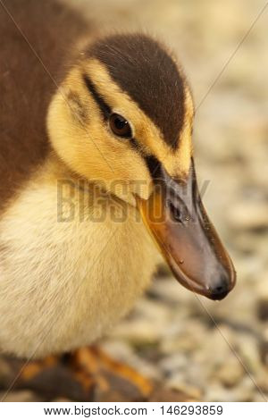 A portrait of a baby Grey Duck leading with its beak in New Zealand.