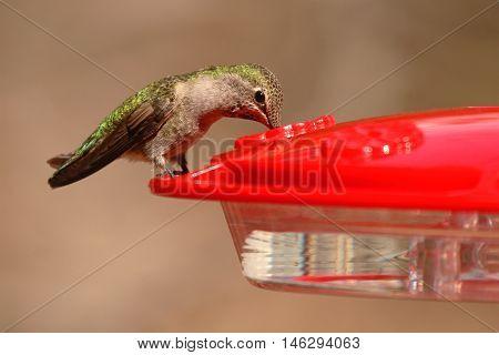 A Female Anna's Hummingbird Dipping Her Beak Into A Feeder In Arizona.