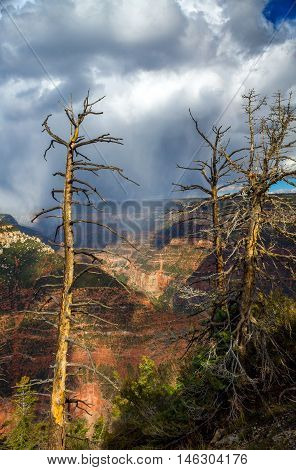 Dead trees stand in the sunlight in front of an afternoon storm at the North Rim of the Grand Canyon by Bright Angel Trail.