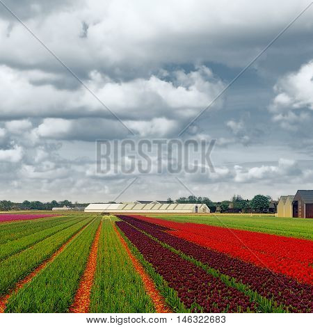 Hothouses between the Fields of Tulips in Netherlands Vintage Style Toned Picture