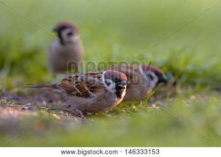Group Of Tree Sparrow