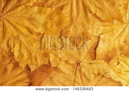 A lot of yellow dry leaves -Background