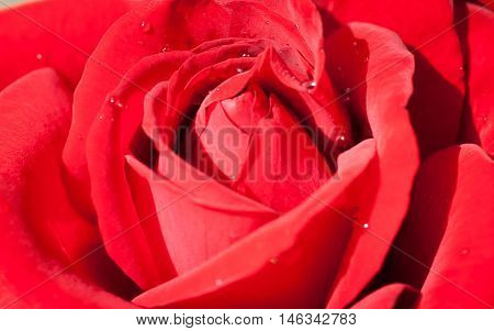 Close up on lush rose flower for nature background or theme about love and passion