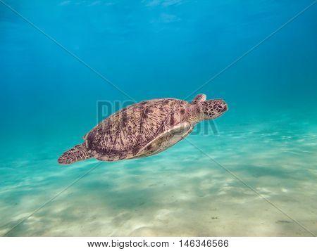 Green sea turtle swimming underwater Red Sea. Egypt