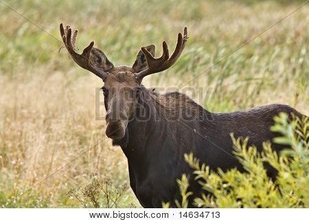 Bull Moose  Close Up