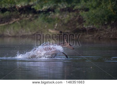 Hind Running In Shallow Water