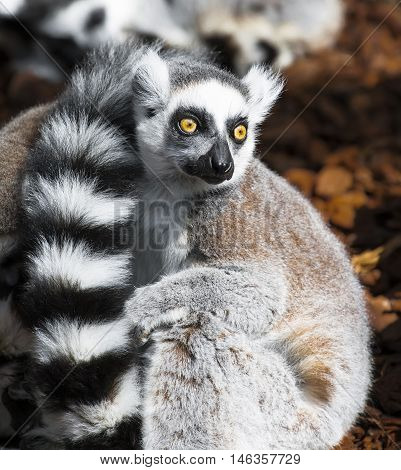 Lemur eyes wide open looking at what is happening around