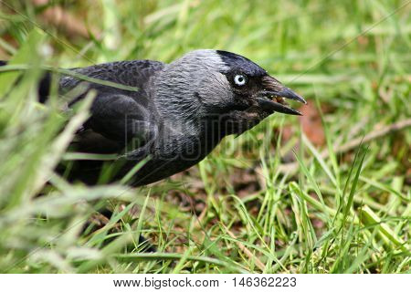 A Jackdaw foraging for food in the grass