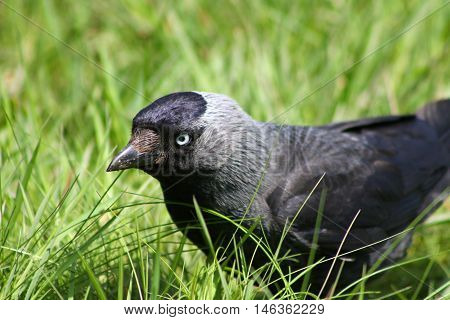 A Jackdaw foraging on a garden lawn