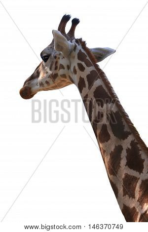 the portrait giraffe isolated on white background