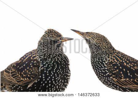 two portrait starlings (Sturnus vulgaris) isolated on white. Studio shot.