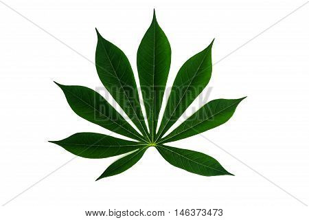 Green cassava leaf isolated white background .