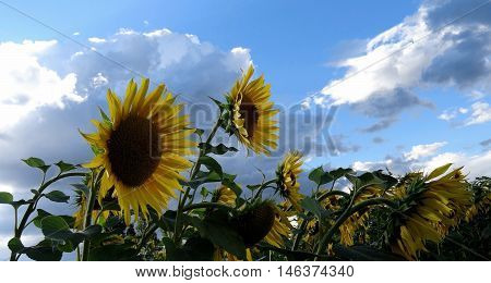 Ripe seeds of helianthus at the sunflower farm field detailed