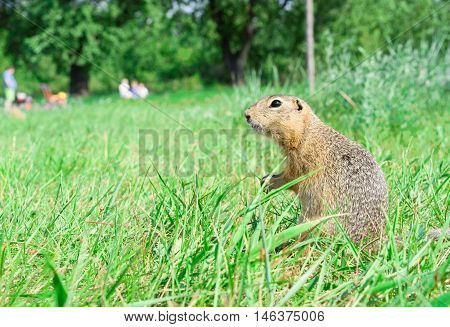 Gopher standing profile and starring on meadow, some people on the background, warm summer weather