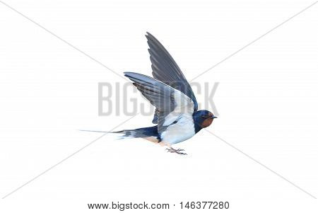 Swallow Hirundo rustica on a white background