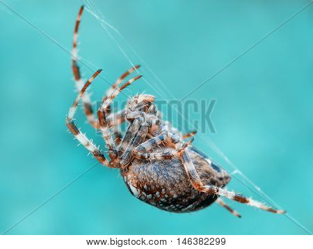 crusader spider on a spider web. A close up